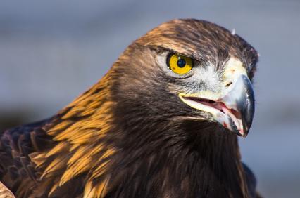 Der Adler als Tattoo Motiv